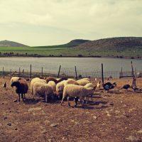 H κτηνοτροφία στη Λήμνο: Το σήμερα και το χθες