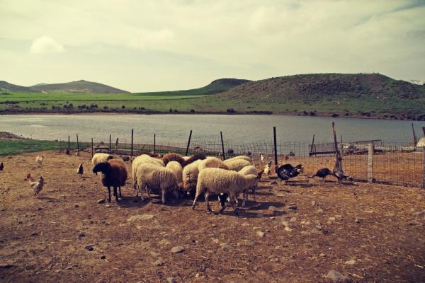 κοπάδι με πρόβατα