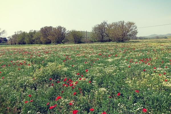 Λιβάδι με παπαρούνες στην Λήμνο