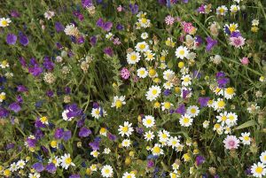 Echium plantagineum / Anthemis arvensis / Silene colorata