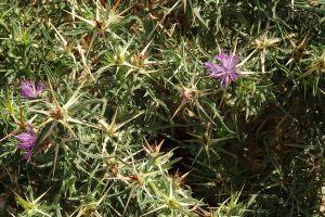 Centaurea calcitrapae