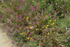 Trifolium purpureum